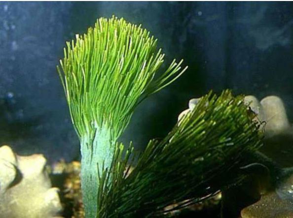 Caracterização Estrutural, Dosagem Químicas, Atividade Anticoagulante e Neutralização por Protamina da Galactana Sulfatada Da Alga Penicillus Capitatus